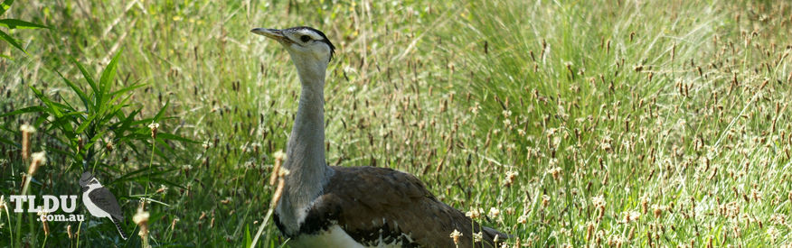 Australian Bustard - The Land Down Under