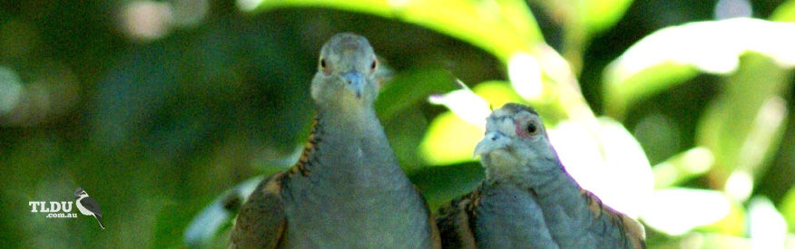 Bar Shouldered Doves