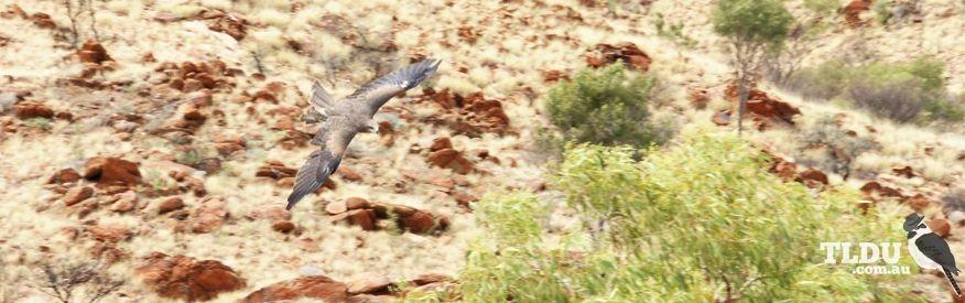 Black Kite searching for prey in Central Australia
