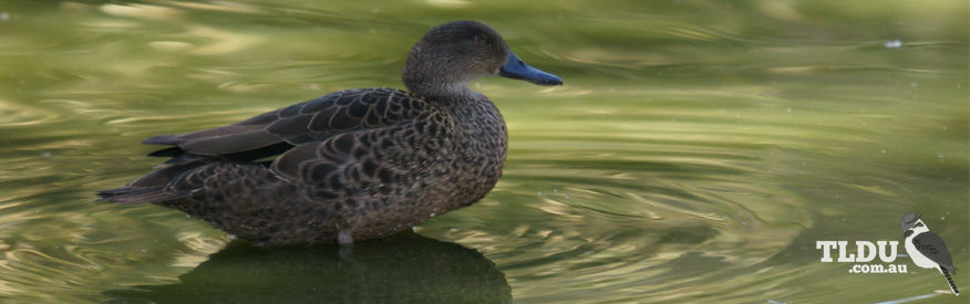 Female Blue Billed Duck