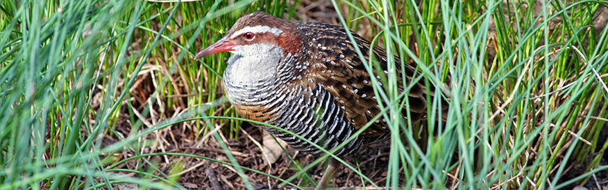 Buff-banded rail - The Land Down Under
