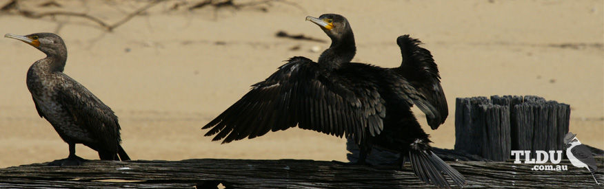 Great Cormorant