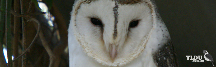 Pacific Barn Owl