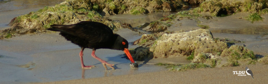 Sooty Oyster Catcher looking through washed up shells for food