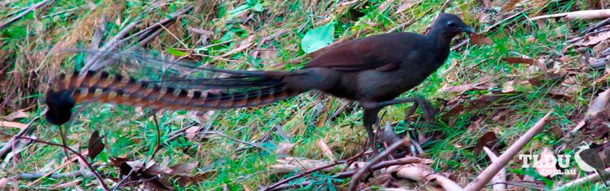 superb lyrebird the land down under