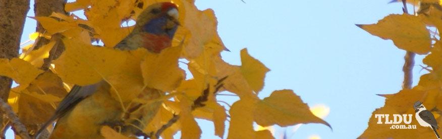 Yellow Rosella