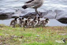 Australian Wood Duck Duckings