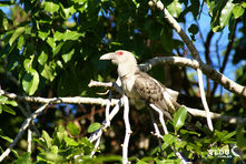Channel Billed Cuckoo