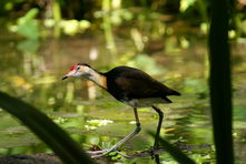 Comb Crested Jacana - The Land Down Under