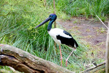 Female Black Necked Stork - Female Jabiru