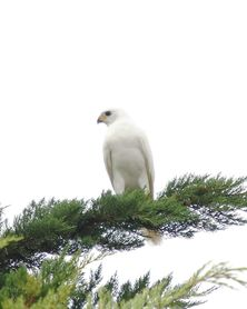 The grey goshawk is often called a 'white hawk' because of it's white colourin