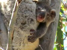 6 month old joey rarely seen at this age as they cling to their mothers belly