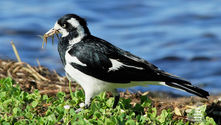 Magpie Lark gathering insects for its young - The Land Down Under