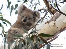 Female Koala - part of the attraction of Echidna Walkabout Nature Tours