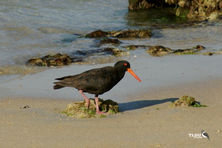 Sooty Oyster Catcher scouring the rocky shoreline for food