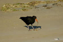 Sooty Oyster Catcher finds sand worm