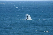 Southern Right Whale Tail Slapping - Victor Harbour