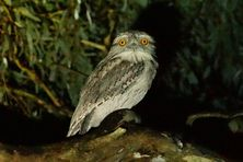 Tawny Frogmouth keeping a watchful eye in the night