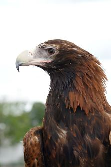 Wedge Tailed Eagle