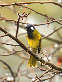 Cheeky White Eared Honeyeater - The Land Down Under