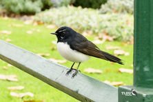 Willie Wagtail of The Land Down Under - Australia