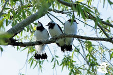 Young magpie larks high in the trees safe while the parents gather food.