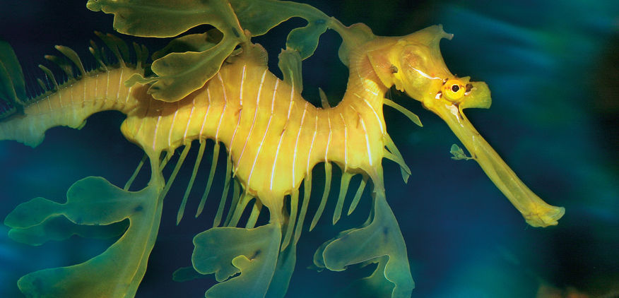 Leafy Sea-dragon at AQWA