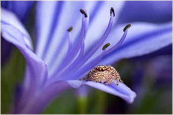Jumping Spider on Agapanthus - Natures Image Photography