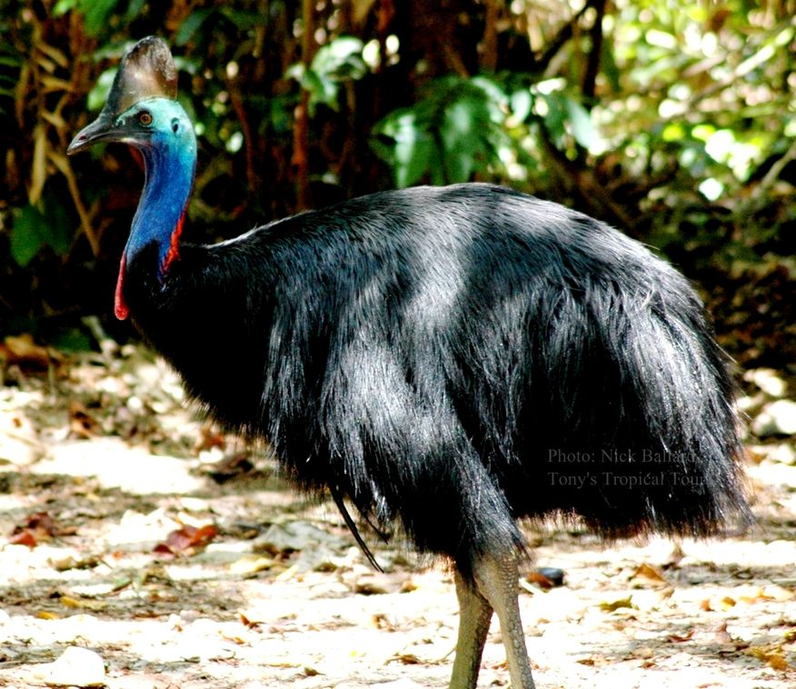See a Cassowary with Tony's Tropical Tours