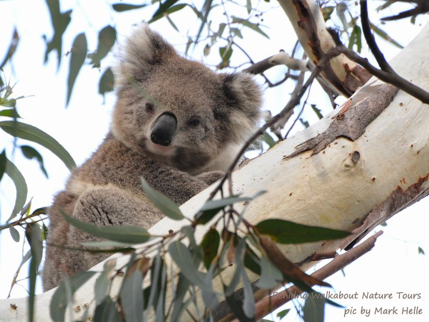 Smoky the Koala from the Koala Conservation Day