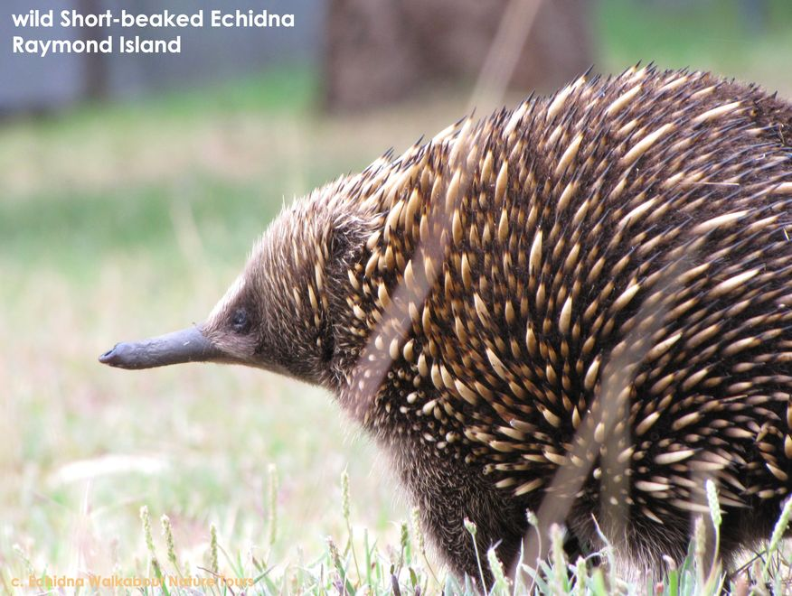 Wildlife Journey Echidna
