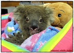 Wildwood Wildlife Rescue - Chloe the Koala in Care