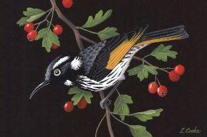 Lyn Cooke Wildlife Artist - New Holland Honeyeater and Hawthorn