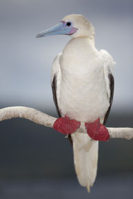 Red Footed Booby - Bird N Nature Week - Christmas Island