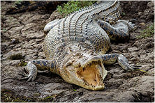 Croc Basking - Yellow Waters - Natures Image Photography