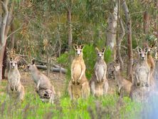 Kangaroo mob with Echidna Walkabout Tours