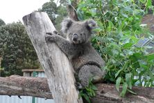 Koala at Wings Wildlife Park