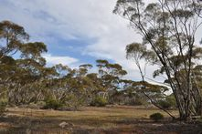 NHSSA - scene of the mallee habitat on Moorunde Wildlife Reserve