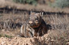 NHSSA - southern hairy-nosed wombat (Lasiorhinus latifrons) on Moorunde Wildlife Reserve