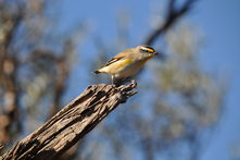 NHSSA - striated pardalote (Pardalotus striatus) on Moorunde Wildlife Reserve