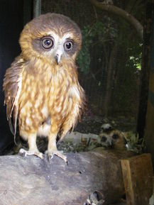 Owl in Care at Kimberley Wildlife Rescue