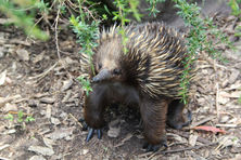Potoroo Palace Native Animal Education Sanctuary - Echidna
