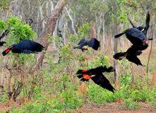 Red-tail black cockatoos - Venture North Birdwatching