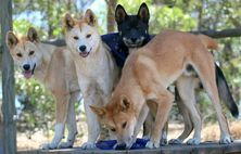 The Dingo Discovery Sanctuary and Research Centre Dingoes