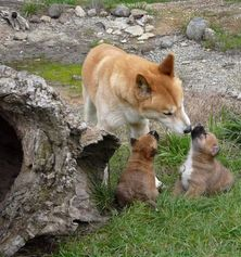 The Dingo Discovery Sanctuary and Research Centre - Dingo caring for pups