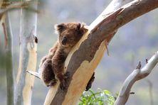 Truganina Koala - Koala Conservation Day