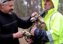 Wedge-tail Eagle receiving medical care at Raptor Refuge
