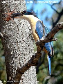 Wildlife Journey - Sacred Kingfisher