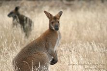 Wildlife Journey Wallabies
