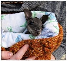 Wildwood Wildlife Rescue - Wally the Wallaby in Care
